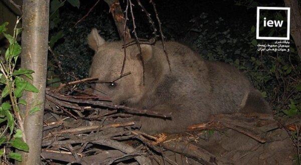 نجات خرس قهوه ای گرفتار در فنس های یک باغ در سراب