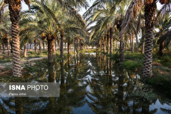 خسارت سوسک شاخدار در حاجی آباد، احتمال آلودگی سوسک حنایی وجود دارد؟
